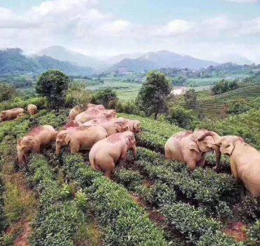 Drambliai, netyčia paragavę vyno, užsnūdo arbatos sode