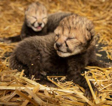 Gepardų jauniklius pirmą kartą atsivedė surogatinė motina
