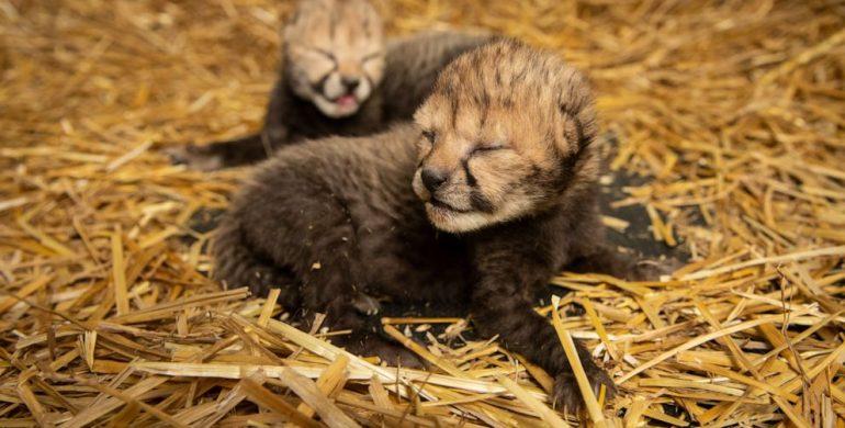 Gepardu jaunikliai