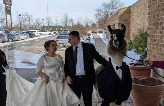 Brolis ištesėjo pažadą – atsivedė lamą į sesers vestuves