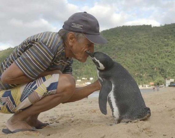 Kasmet šis pingvinas nuplaukia 8000 kilometrų, kad susitiktų su žmogumi, kuris išgelbėjo jam gyvybę