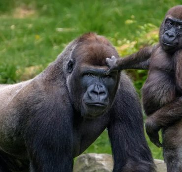 Nacionalinio parko reindžeriai fotografuojasi su savo saugomomis gorilomis