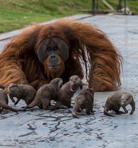Zoologijos sodas pasidalino drauge žaidžiančių orangutanų ir ūdrų nuotraukomis