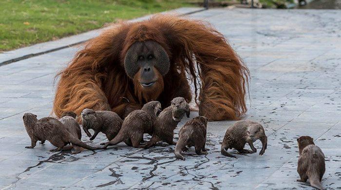 Orangutanai ir udros