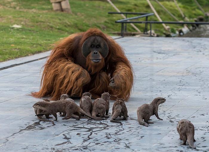 Orangutanai