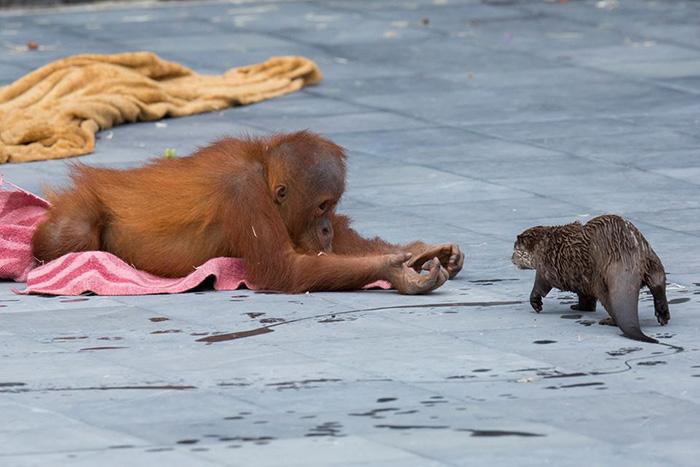 Orangutangiukas ir udra zaidzia