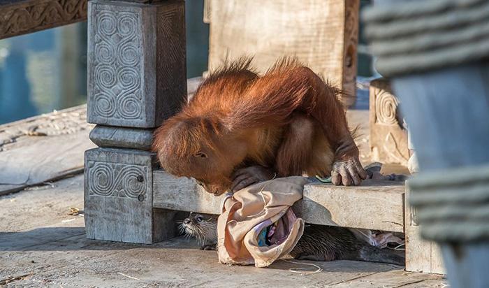 Orangutangiukas
