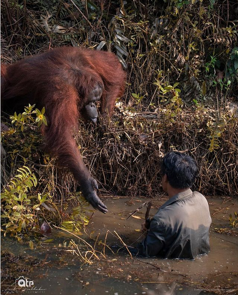Orangutanas isgelbeja zmogu