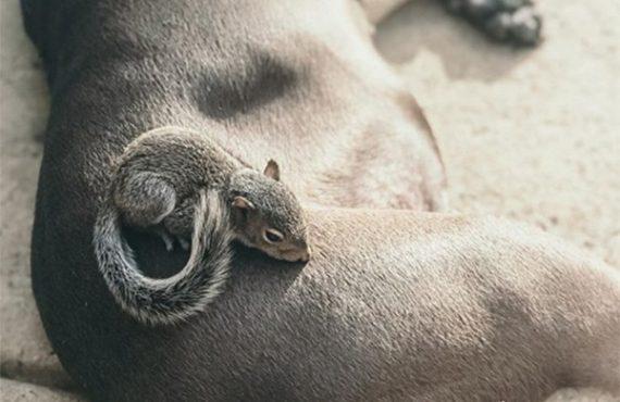 Mažylė voverė nusekė pitbulį namo ir jie tapo geriausiais draugais
