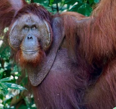 Orangutanas ištiesė pagalbos ranką žmogui, kuris buvo gyvačių pilname vandenyje